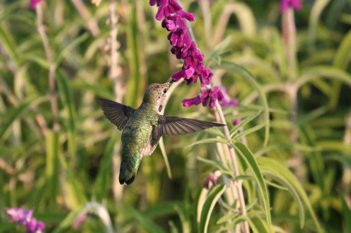 Anna's Hummingbird(Brian West)