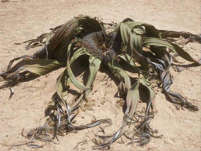An ancient Welwitschia Mirabilis (Paul Stanbury)