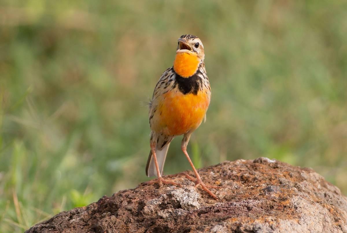 Rosy-breasted-Longclaw,-Kenya-shutterstock_1291756042.jpg