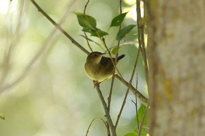 Juvenile Garden Warbler