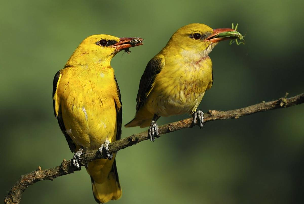 Golden Oriole Shutterstock 167018636
