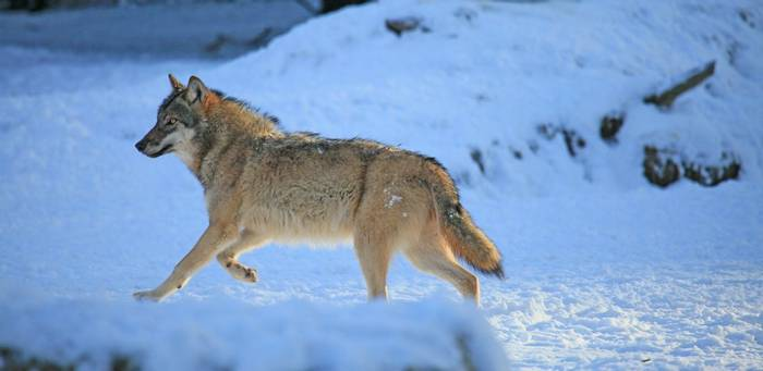 Wolf, Sweden Shutterstock 43919254