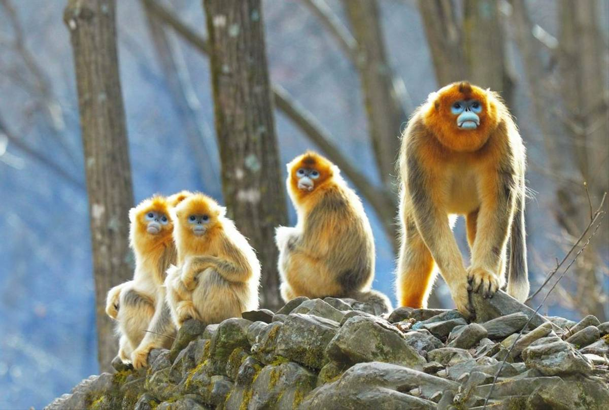 Golden Snub Nosed Monkeys Shutterstock 607543739 (1)