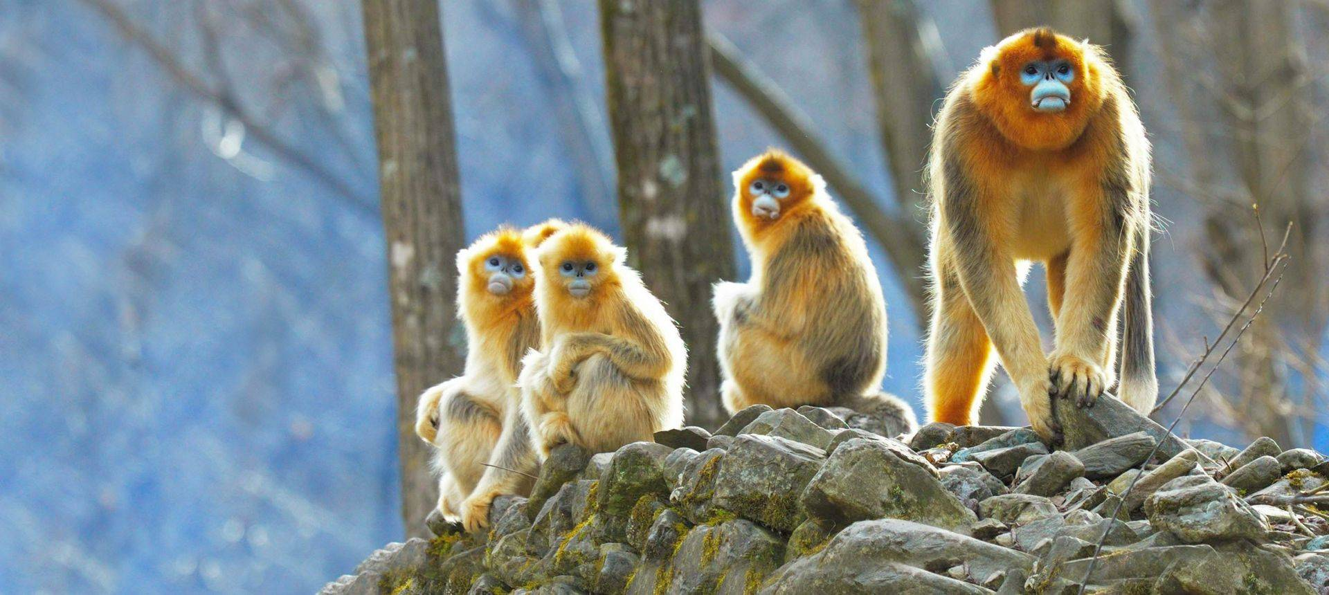 Golden Snub Nosed Monkeys Shutterstock 607543739 (1)