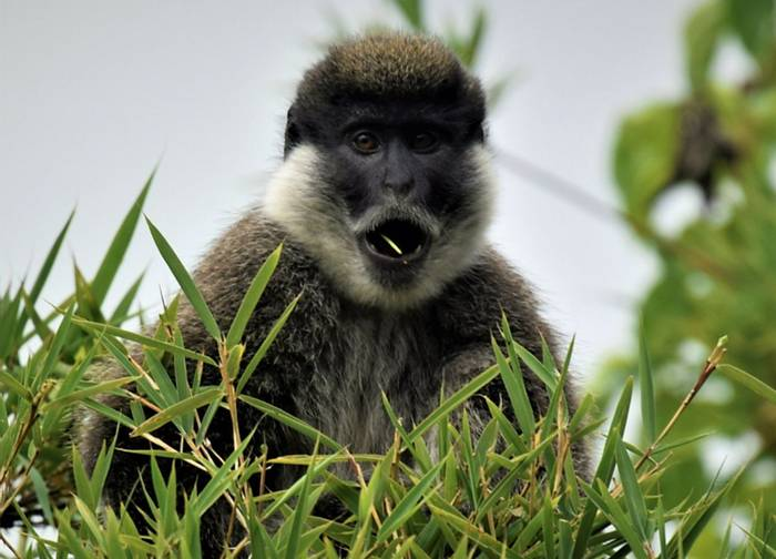 Bale Monkey