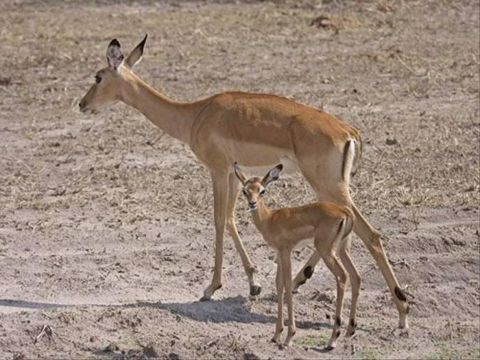 Impala  (Ron Foulkes)