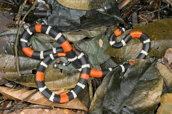 South American Coral Snake (Micrurus lemniscatus)
