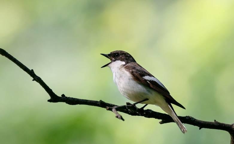 Wildlife-Birdsong-Pied_Flycatcher_AdobeStock_255210832.jpeg