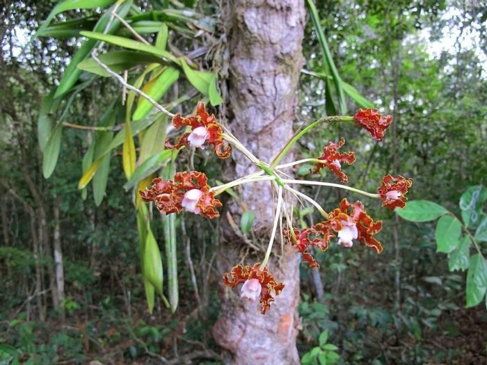 Orchid - Guyana