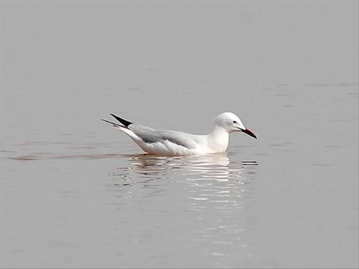 Slender-billed Gull (David Morris)
