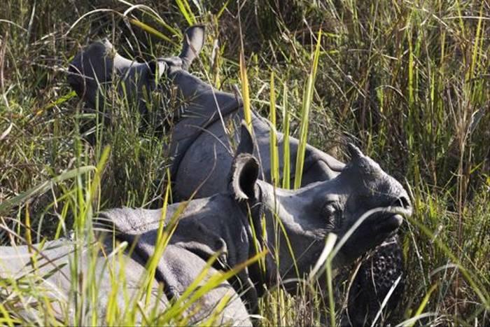 Indian One-horned Rhino (Cliff Garratt)