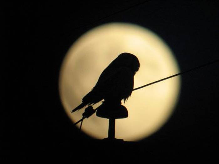 Hawk Owl in moonlight (Daniel Green)