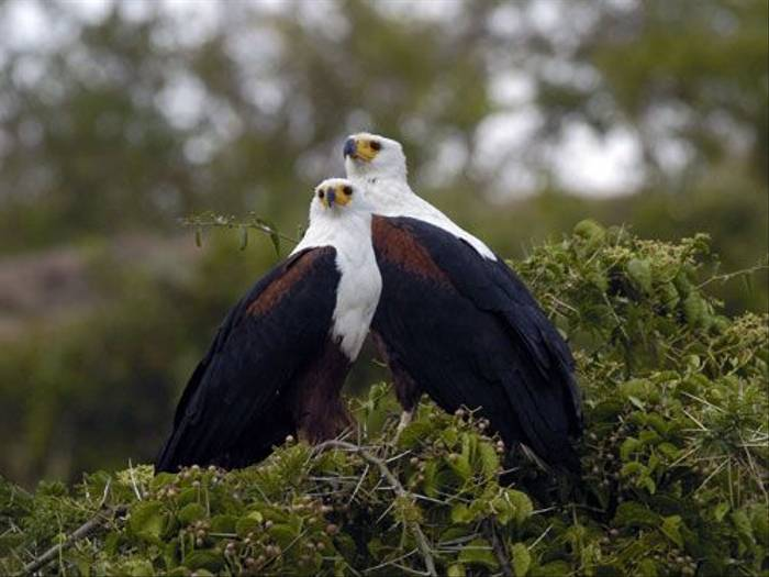 African Fish Eagles (Peter Price)