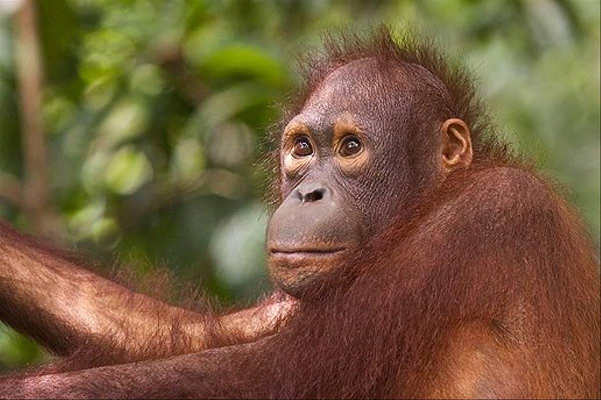 Orangutan on boardwalk - Sepilok (Dani Free)