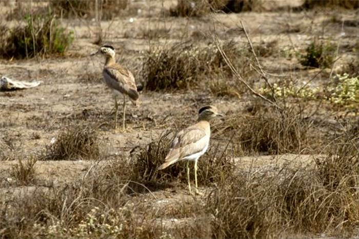 Peruvian Thick-knee (Mike and Karen Galtry)