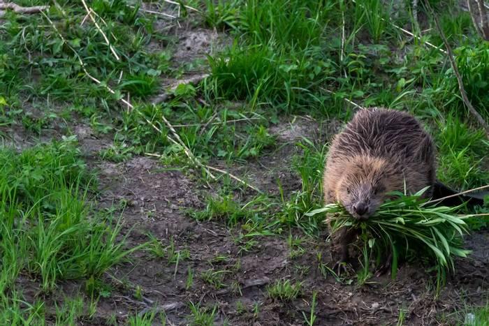Beaver, Sweden shutterstock_1646304856.jpg