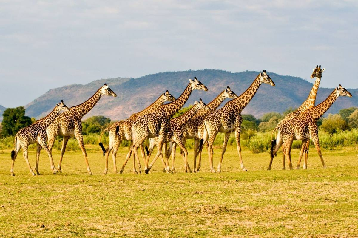 Giraffe Zambia shutterstock_24440929.jpg