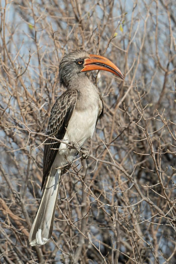 Bradfield's Hornbill, Africa shutterstock_1536695822.jpg