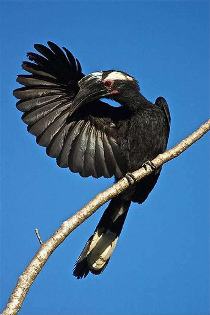 Black Hornbill (Dani Free)