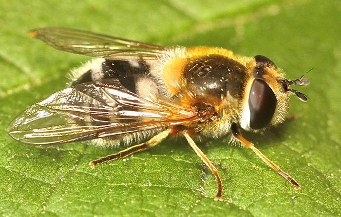 Epistrophe leiophthalma  - a hoverfly species (Alan Outen)