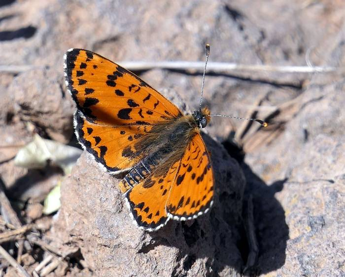 Spotted Fritillary by Clive Pickton