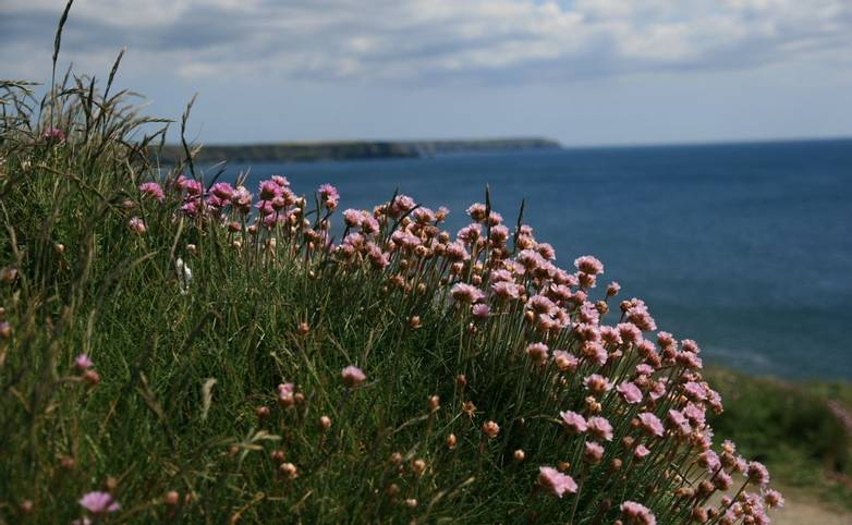 Sea_Pinks_Cornwall.JPG