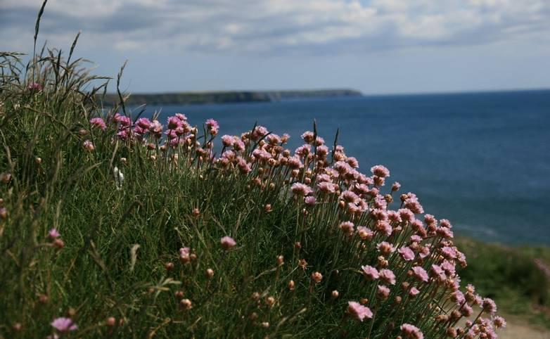 Sea_Pinks_Cornwall.JPG