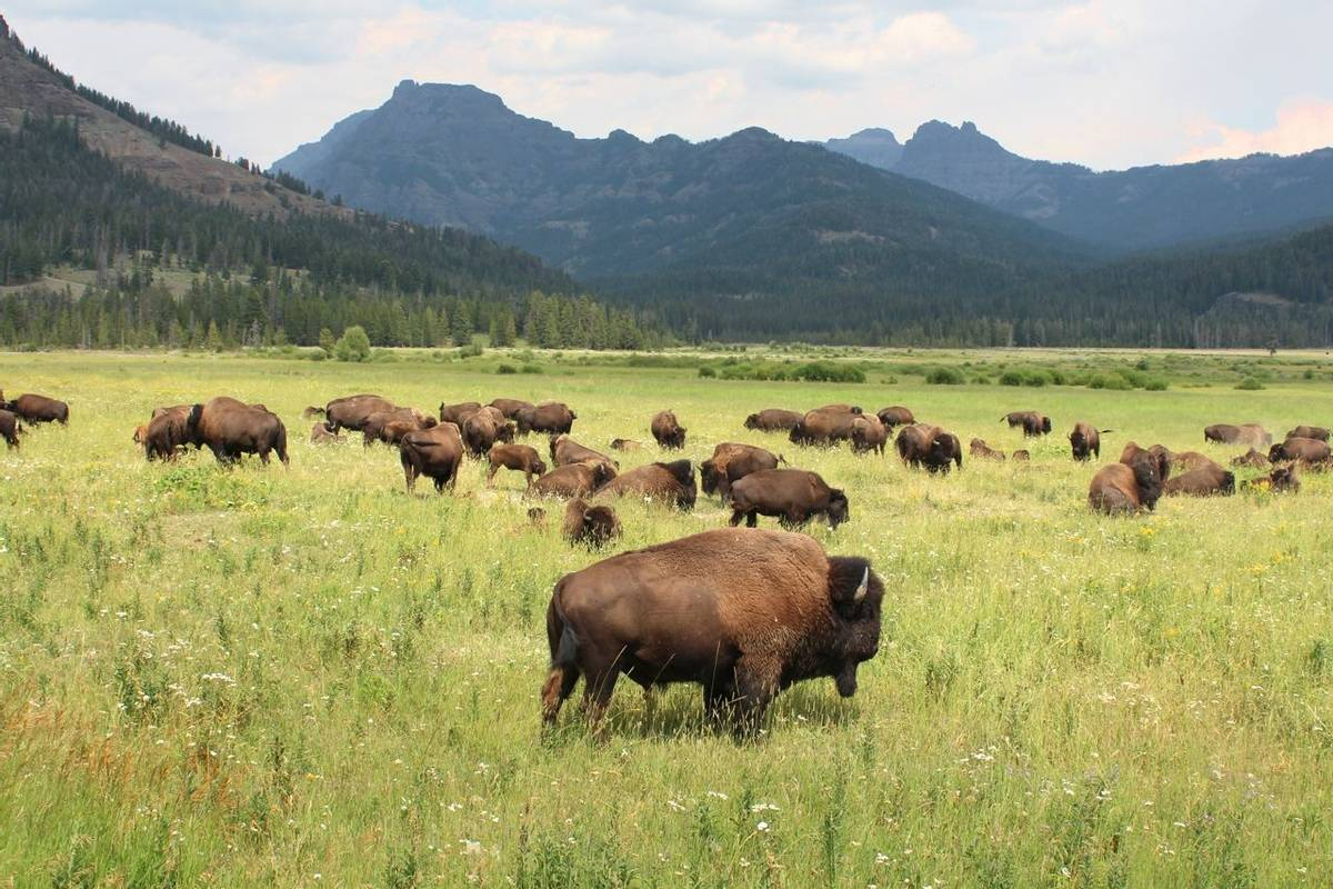 American Rockies - Wildlife - Byson, Yellowstone National Park - AdobeStock_87664812.jpeg