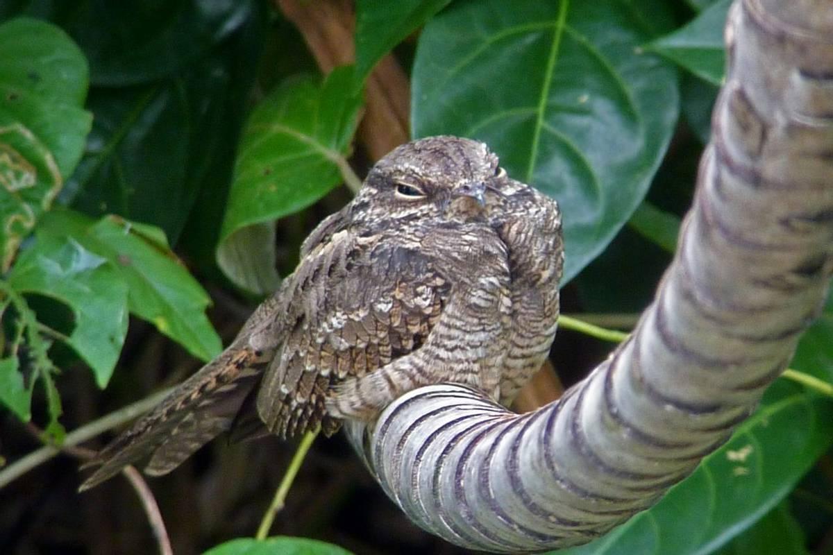 Ladder-tailed Nightjar (Byron Palacios)