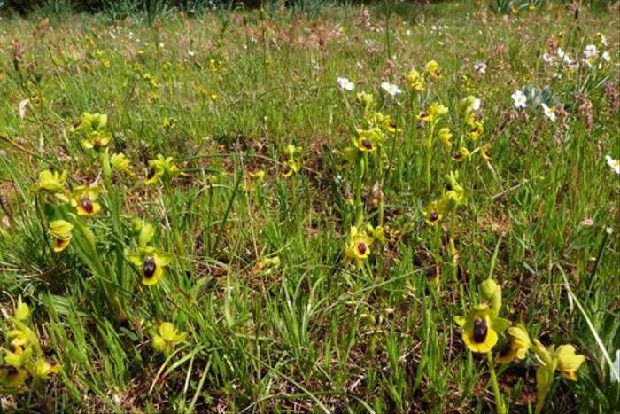 A mass of Ophrys lutea, Yellow Bee Orchid, Talairan