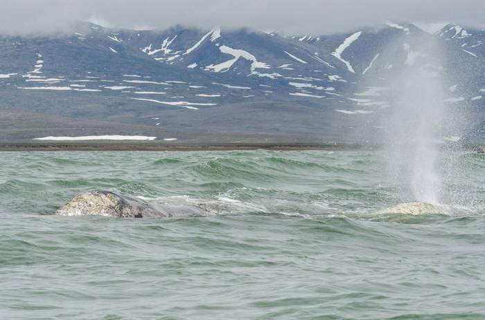Grey Whales (Tim Melling).jpg