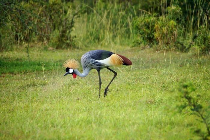 Grey Crowned Crane, Uganda shutterstock_238831834.jpg