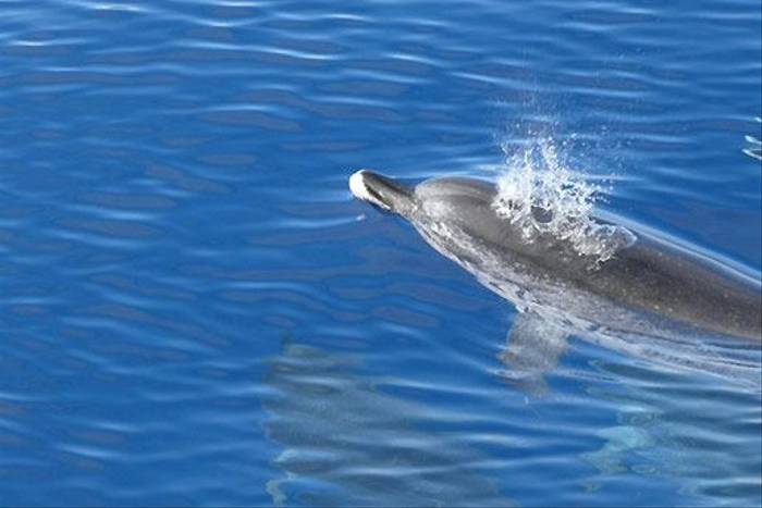Spotted Dolphin (Liz Scott)