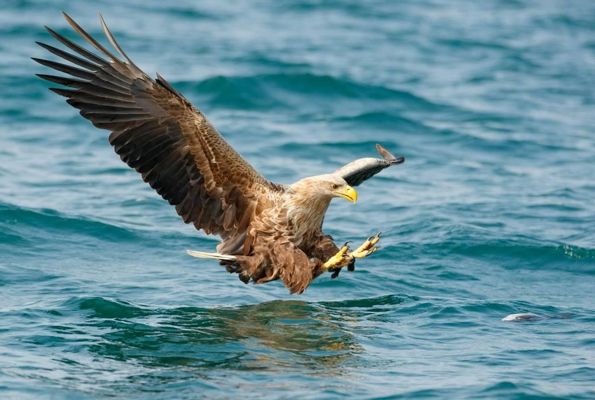 White-tailed Eagle (Paul Nicholson).jpg