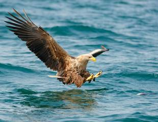 Mull's Otters & Eagles - A Photography Tour