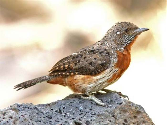 Red-throated Wryneck (Julia Casson)