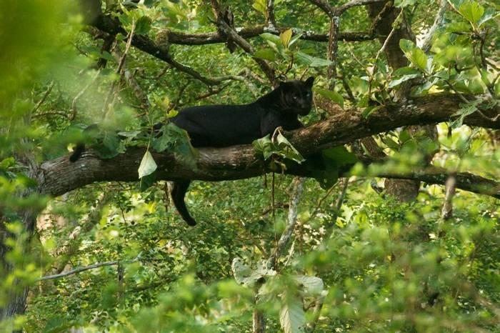 Black Panther (David Raju).jpg