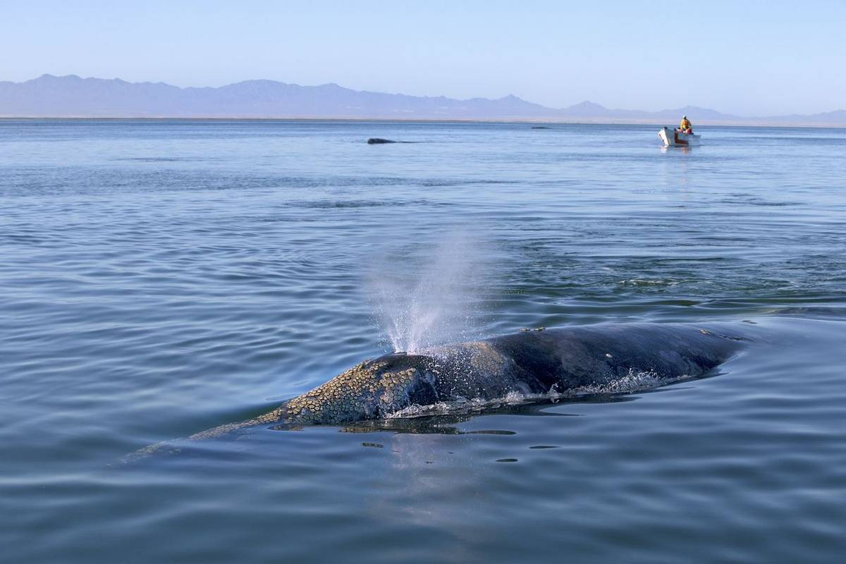 Grey Whale, Baja California Shutterstock 389572009