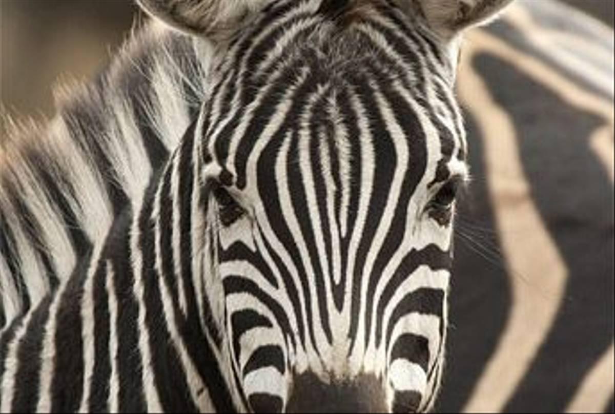 Burchell's Zebra (Leon Marais)