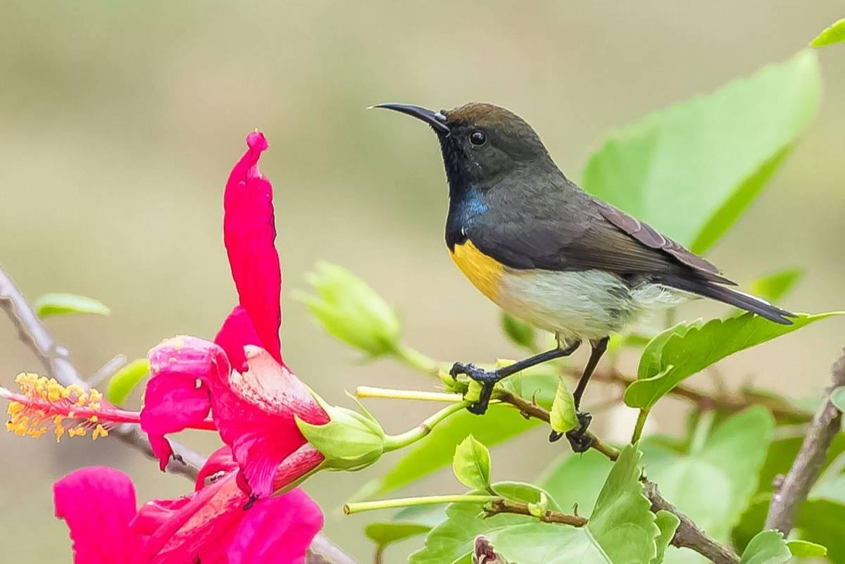 Newton'S Sunbird Shutterstock 1158703156
