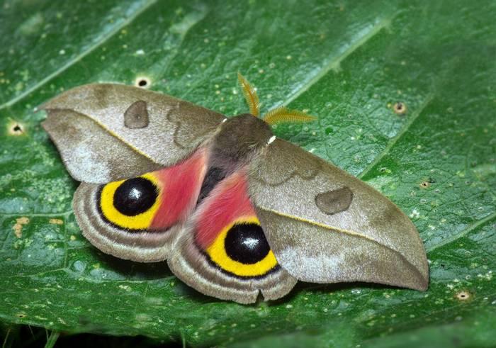 Owl Moth (Automeris zozine), Ecuador