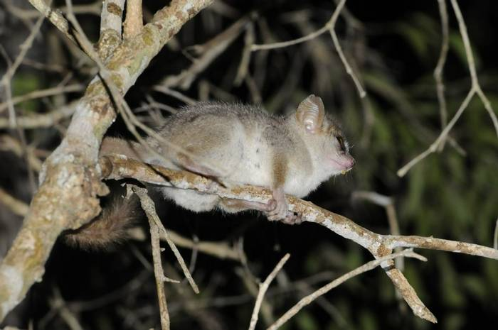 Madame Berthe's Mouse Lemur (Stephen Woodham)