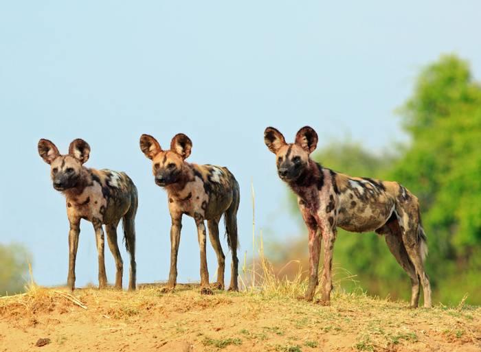 Wild Dogs shutterstock_1053699128.jpg