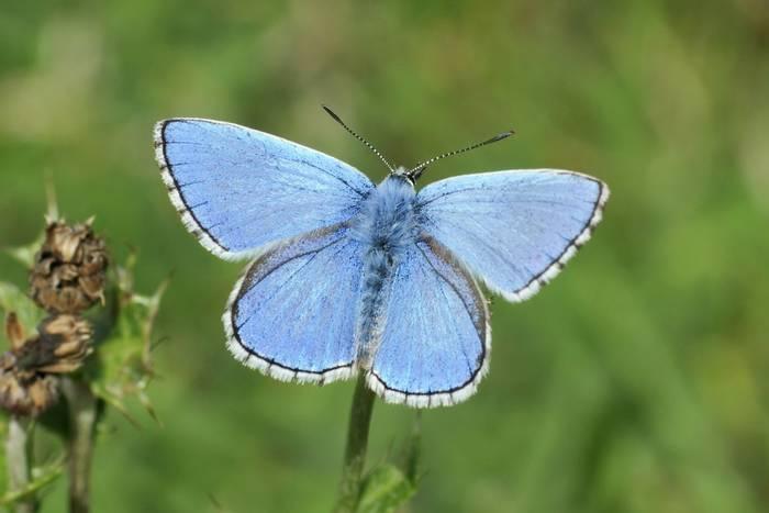 Adonis-Blue-shutterstock_144126970.jpg