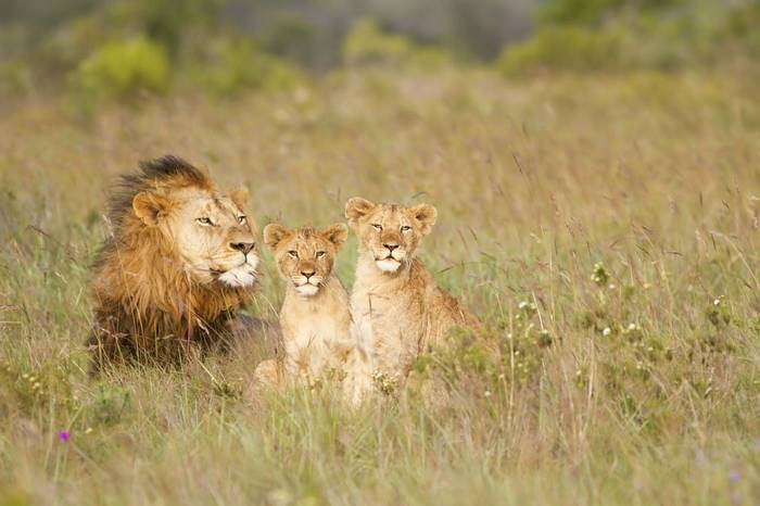 African Lion And Cubs (Jason Prince)