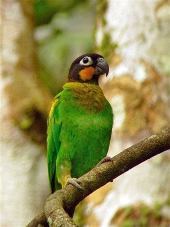 Orange-checked Parrot (Lelis Navarette)