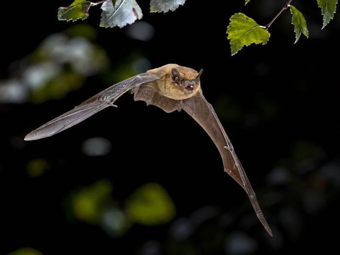 Common pipistrelle Pipistrellus pipistrellus shutterstock_1431879371.jpg