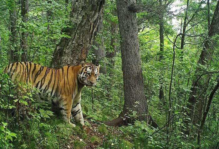 Male Siberian Tiger In Summer, Durminskoye