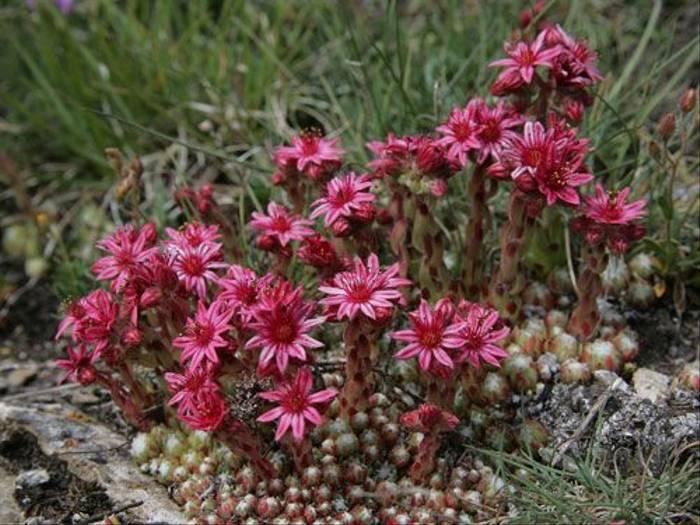Sempervivum arachnoideum (Jenny Wilsher)
