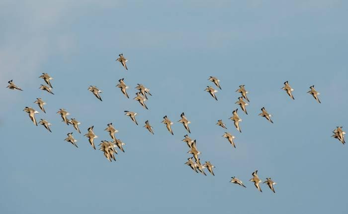 Wader Flock